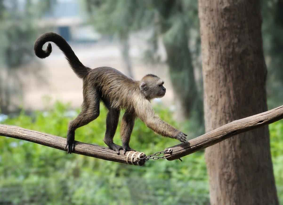 La vraie queue de singe