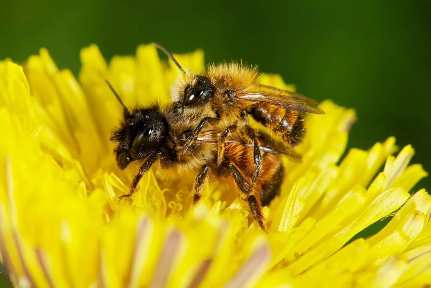 Pourquoi faut-il sauver les abeilles ?