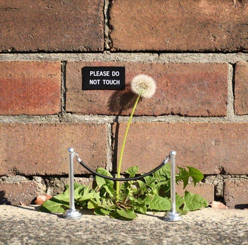 Pissenlit et street-art : please do not touch